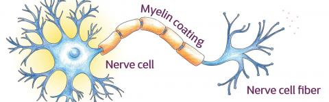 Neuroprotection - Myelin