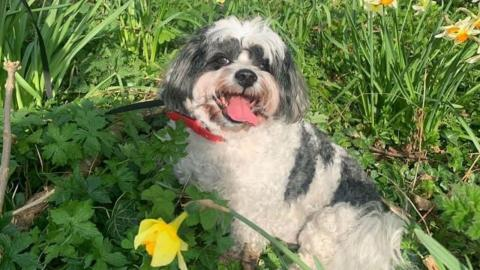 Woody the dog is small and white with grey patches. His tongue is hanging out and he looks happy. He's sitting in a patch of daffodils.