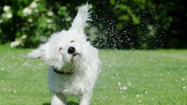 Photo: A small white dog shaking water from itself