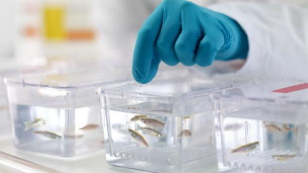 A gloved hand handles 3 containers of zebra fish.