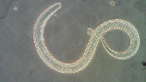 hookworm helminthic therapy)